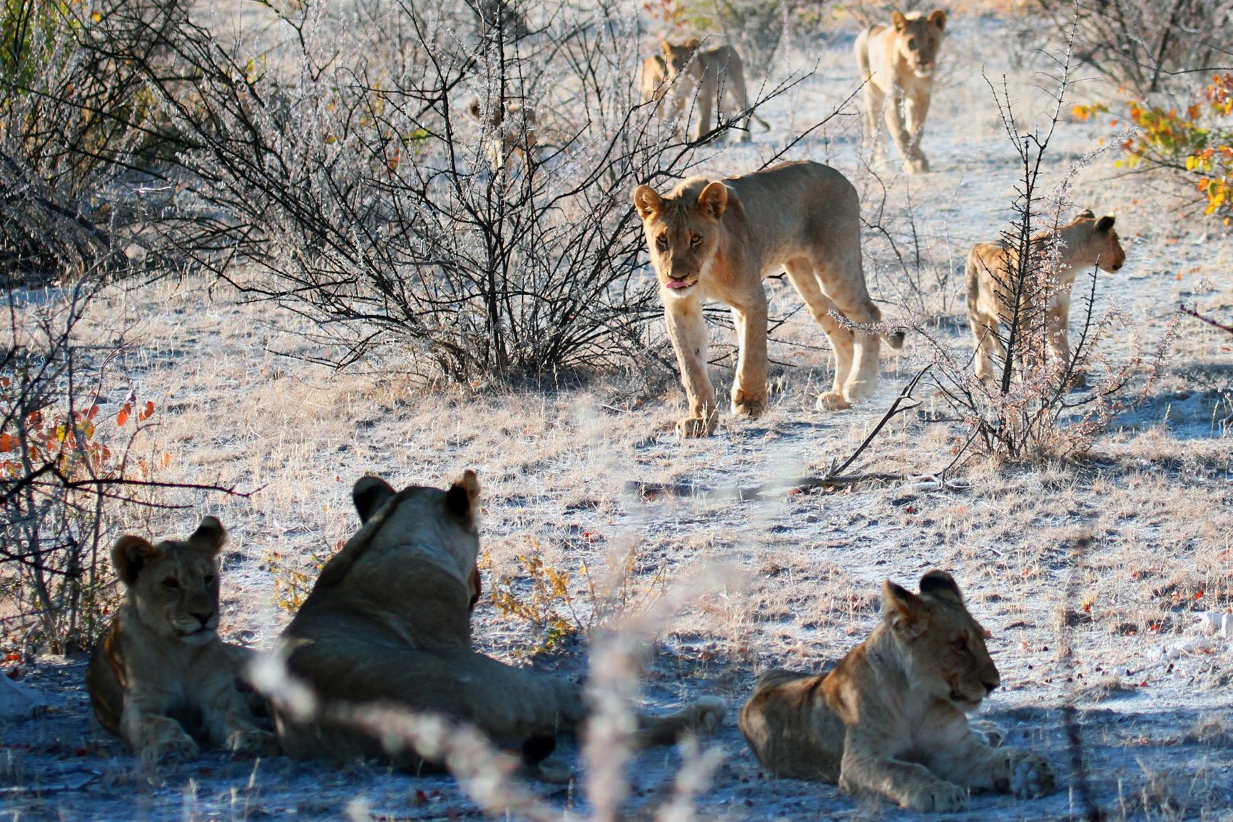 Löwen, Wildlife Abenteuer