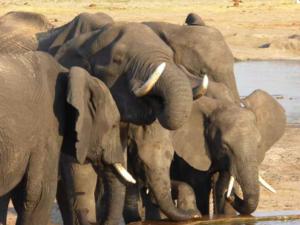 Elefanten Ruckomechi Camp