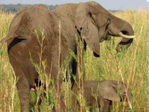 Elefanten Zambezi Fluss Chiawa Camp