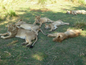 Löwen Safari Chiawa Camp
