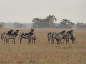 Zebras-Kafue-Nationalpark